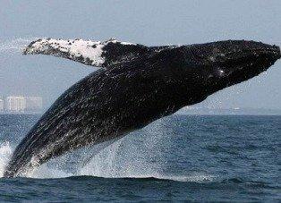 Especies en peligro: La ballena yubarta