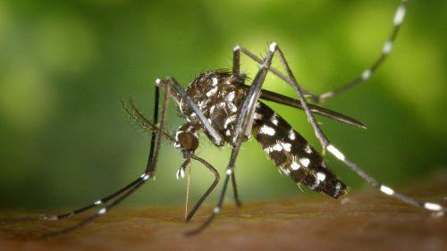 ¿Puede el mosquito tigre transmitir el coronavirus?