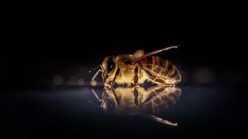 Se reduce la biodiversidad de las abejas a nivel mundial