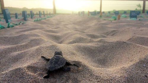 Cabo Verde registra en 2020 su récord histórico de nidos de tortuga