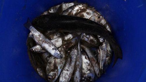 El declive de los peces de agua dulce es el indicador más claro de la crisis ecológica que enfrenta el planeta