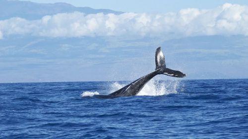 Viajes únicos: Avistamiento de ballenas en Costa Rica