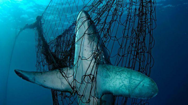 Más de un tercio de los tiburones y rayas están al borde de la extinción por la sobrepesca