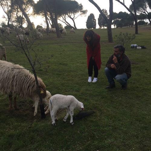 Las ovejas vuelven a la Casa de Campo